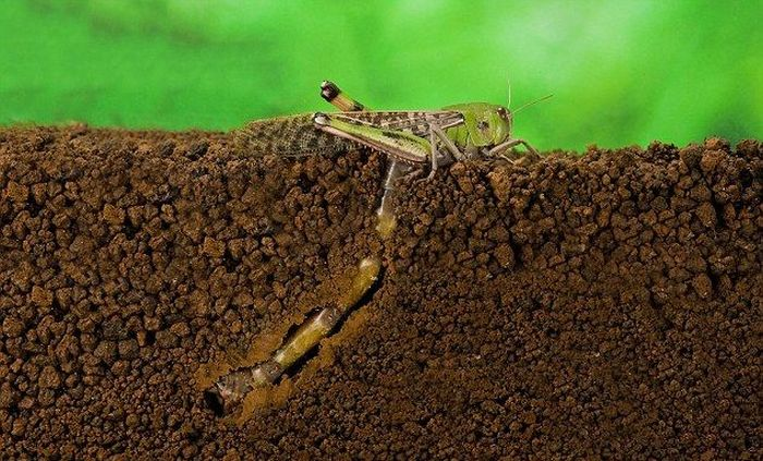 incredible-photos-showing-how-a-locust-lays-eggs-52554